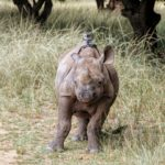baby Rhino with gopro
