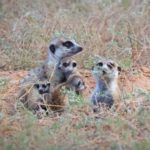 Volunteer with Meerkats in the Kalahari South Africa
