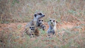 Volunteer with Meerkats in the Kalahari South Africa