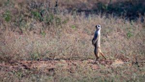 Volunteer with meerkats